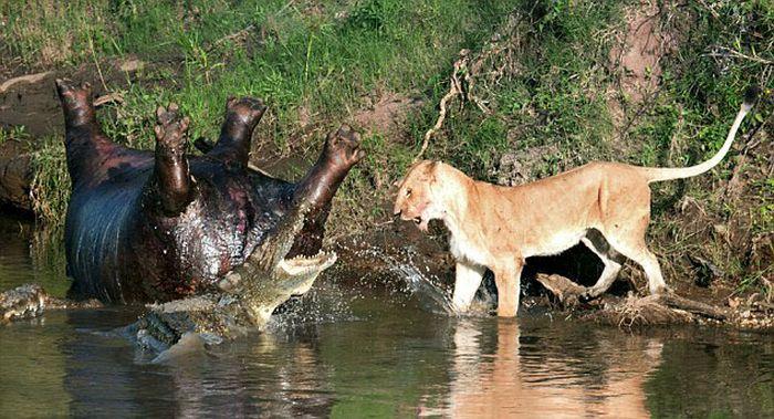 Lioness vs Crocodile (6 pics)