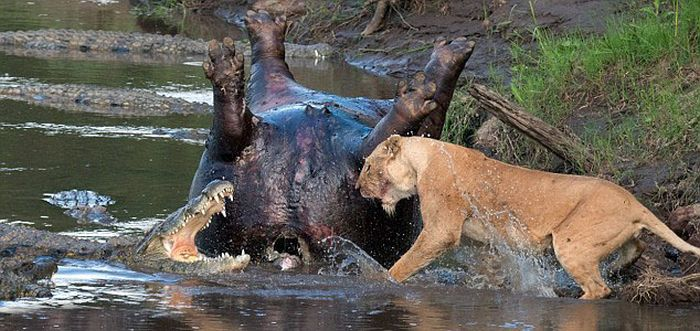 Lioness vs Crocodile (6 pics)