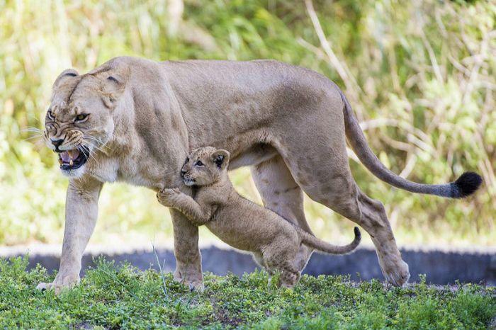 Zoo Miami's New Lion Cub K'wasi (15 pics)