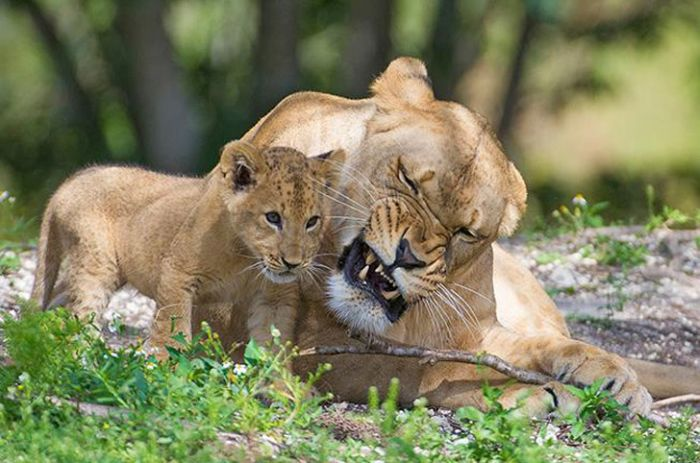 Zoo Miami's New Lion Cub K'wasi (15 pics)