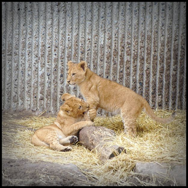 The Copenhagen Zoo Continues to Slaughter Animals (6 pics)