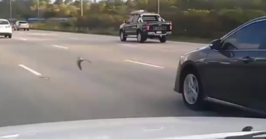 Bird is Speeding With Traffic