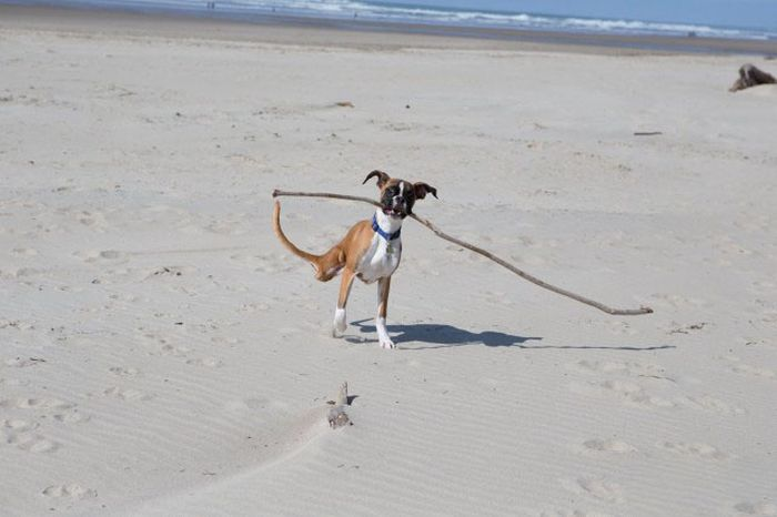 Two-Legged Dog Goes to the Beach for First Time (7 pics + video)