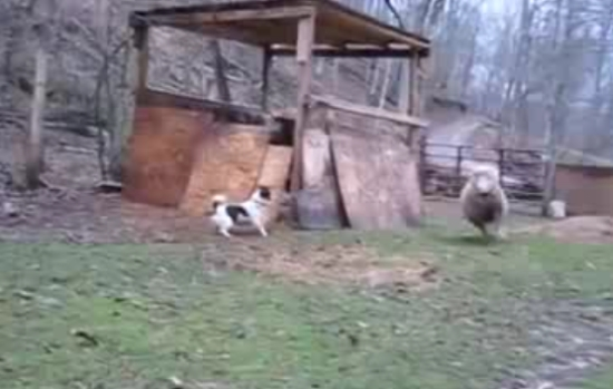 Sheep That Grew Up With Puppies
