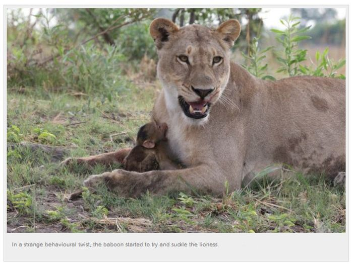 Baby Baboon's Encounter with Lions (10 pics)