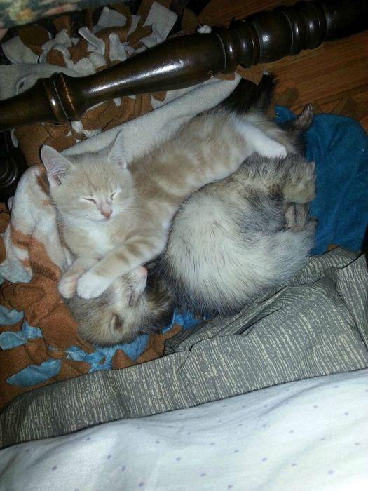 Kitten and Ferrets (40 pics)