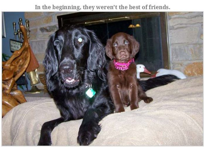 Blind Family Dog and Their New Puppy (20 pics)