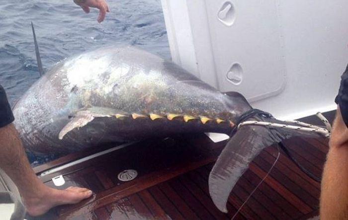 Woman Catches a Big Tuna Fish (6 pics)