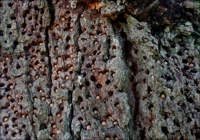 Woodpeckers Hiding Acorns (5 pics)