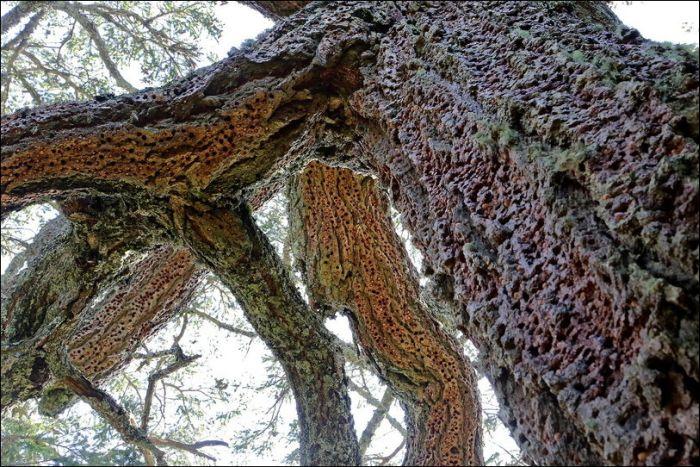 Woodpeckers Hiding Acorns (5 pics)