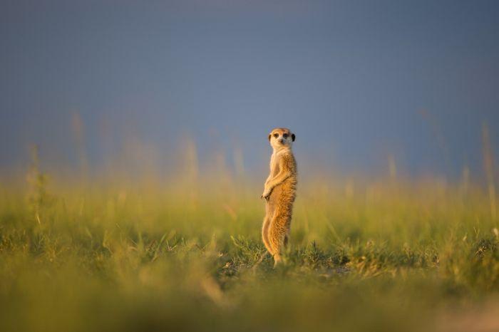 Posing Meerkats (23 pics)