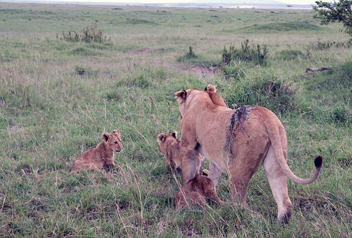 Rescuing a Wounded Lioness (9 pics)