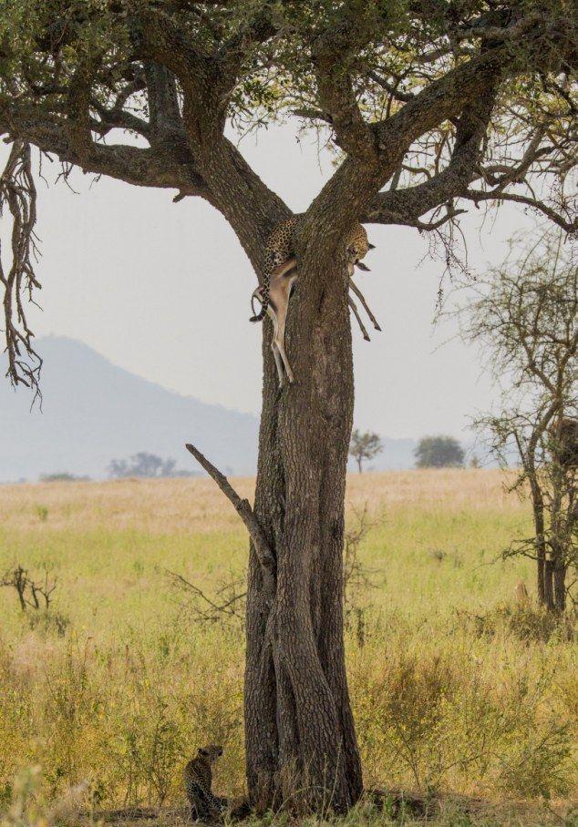 Leopard Dragged Gazelle Up a Tree (10 pics)