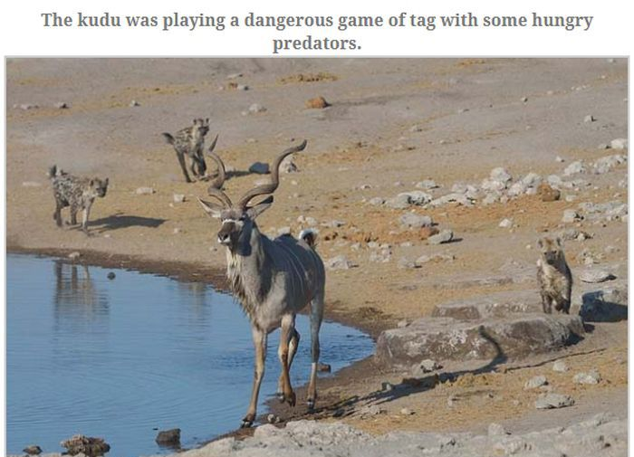 Antelope Escapes Hungry Hyenas (13 pics)