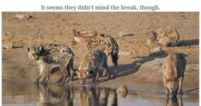 Antelope Escapes Hungry Hyenas (13 pics)