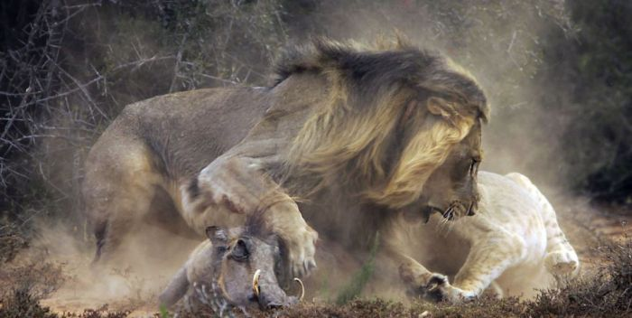 See A Lion Battle A Warthog In These EPIC Pics (10 pics)