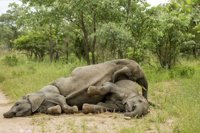 Are These Elephants Drunk Or Just Tired? (8 pics)