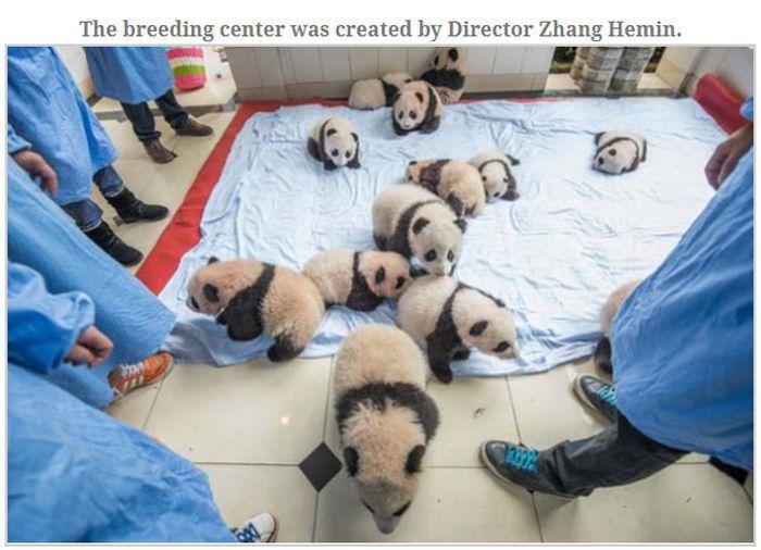 People Dressed As Pandas Living With Pandas (13 pics)