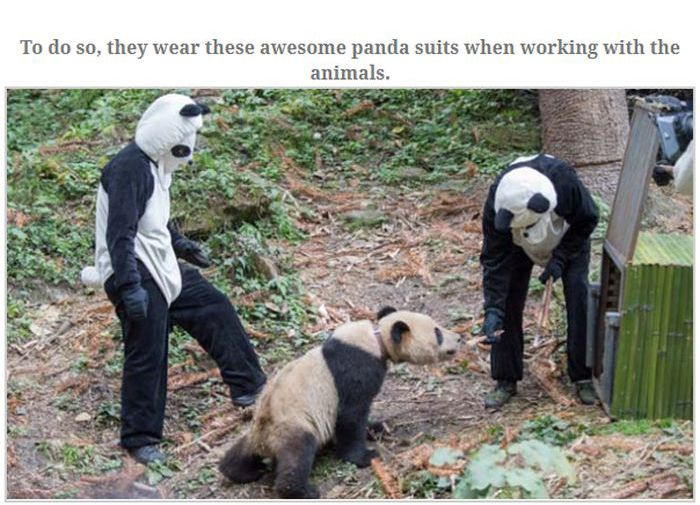 People Dressed As Pandas Living With Pandas (13 pics)