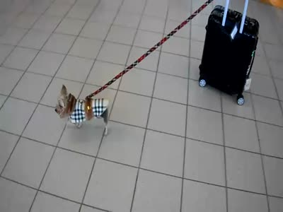 Cute Dog Pulls A Suitcase With A Leash