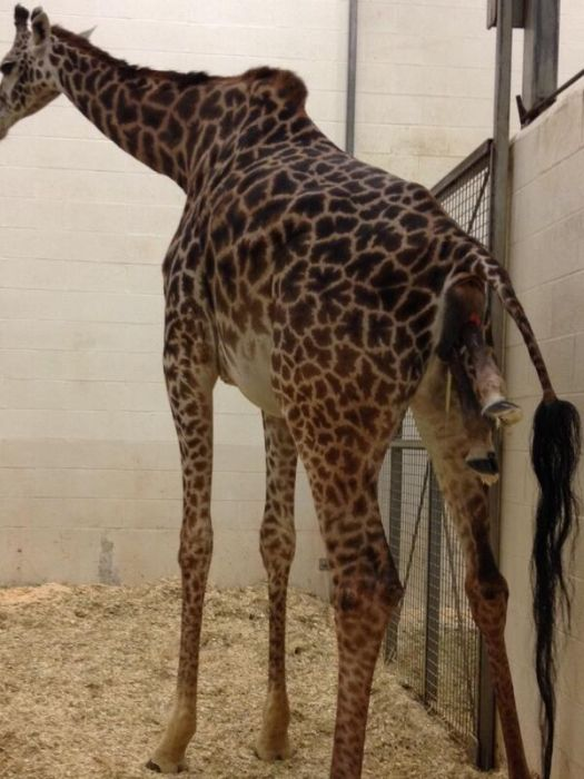 How Baby Giraffes Are Born (14 pics)