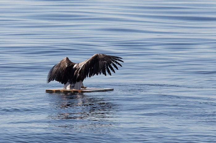 These People Saved This Eagle From Drowning (7 pics)