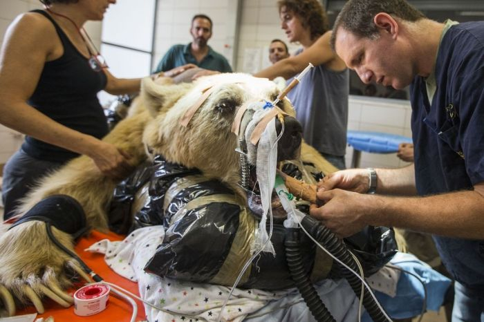 This Is What It Looks Like When A Bear Has Surgery (10 pics)
