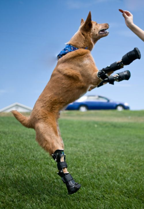 Courageous Animals With Prosthetic Limbs (9 pics)