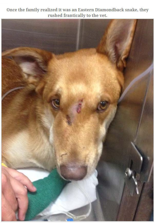 Dog Gets Bit By Rattlesnake Trying To Save Owner (7 pics)