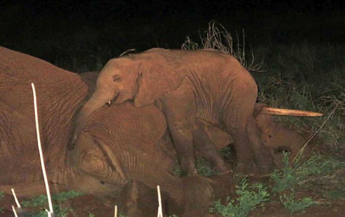 Baby Elephant Won't Leave Mother's Side (12 pics)
