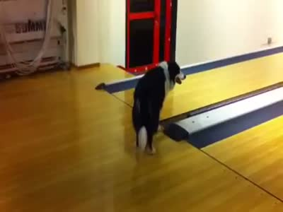 Dog Finds Out What Bowling Is