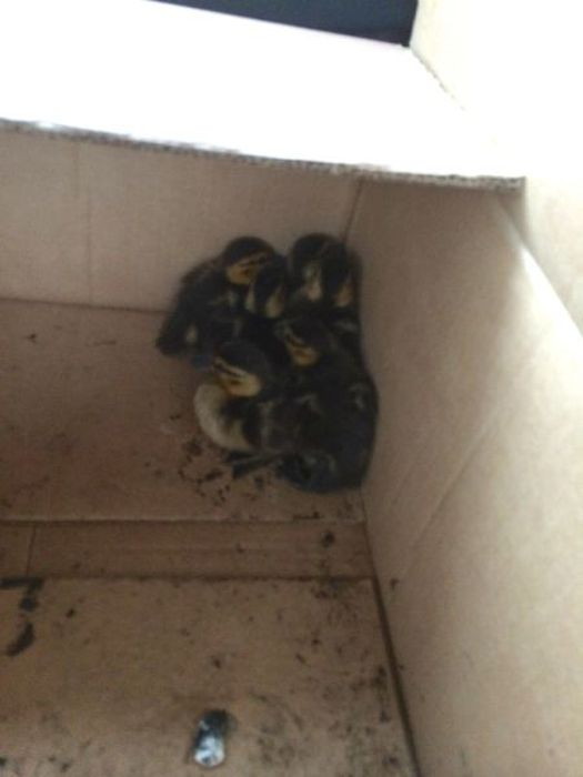 This Is How You Rescue Baby Ducklings (13 pics)