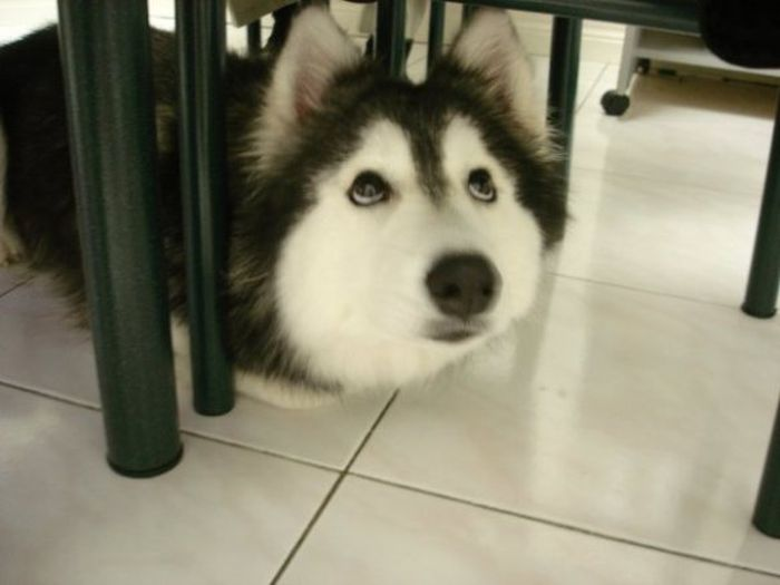 This Husky Was Raised By Cats Now It Wants To Be One (29 pics)
