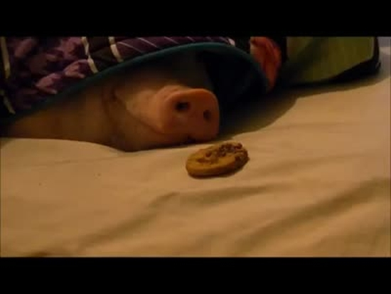 Pig Wants Some Cookies