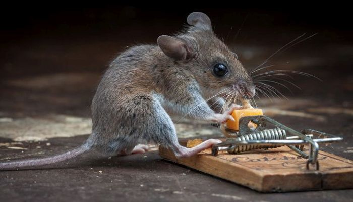 This Mouse Does Battle With A Mousetrap (25 pics)