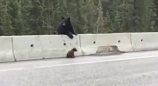 Mother Bear Saves Her Cub From Cars On The Highway