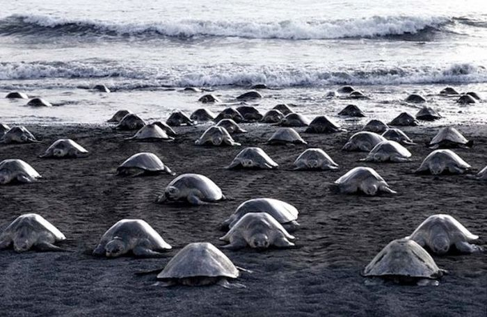 These Turtles All Lay Eggs Together (10 pics)