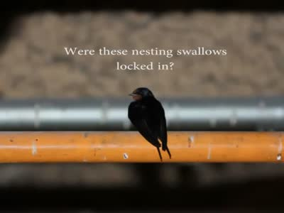 Swallows Locked In A Building