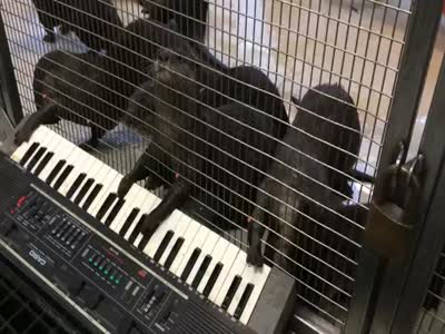 Funny Otters Playing On Synthesizer