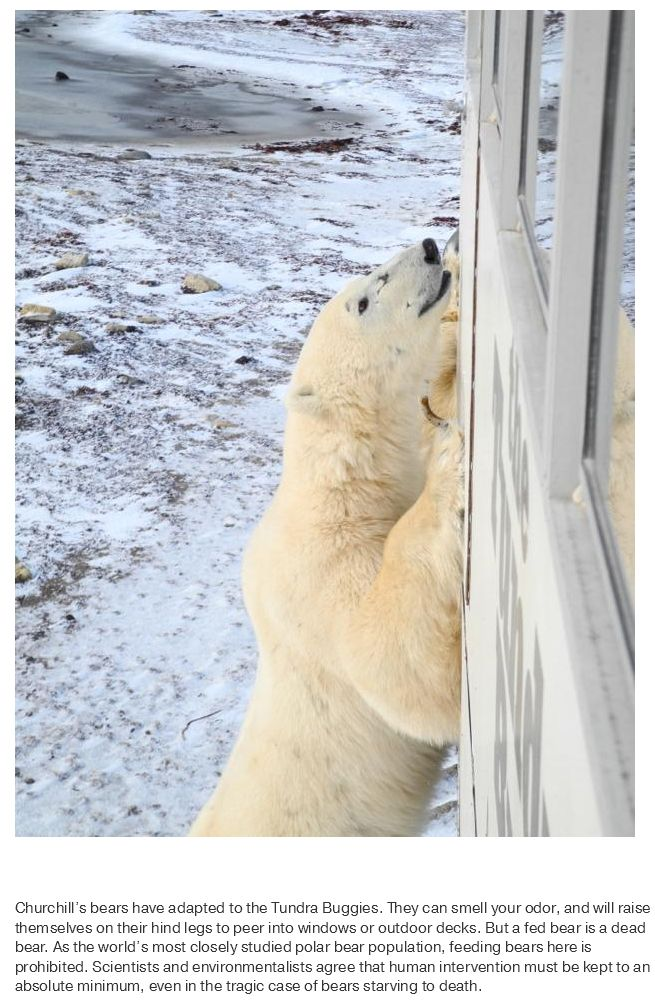 What Life Is Like In The Polar Bear Capital Of The World (17 pics)