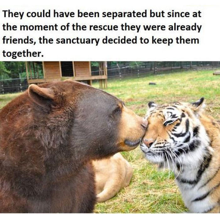 A Lion A Tiger And A Bear Become Best Friends (9 pics)