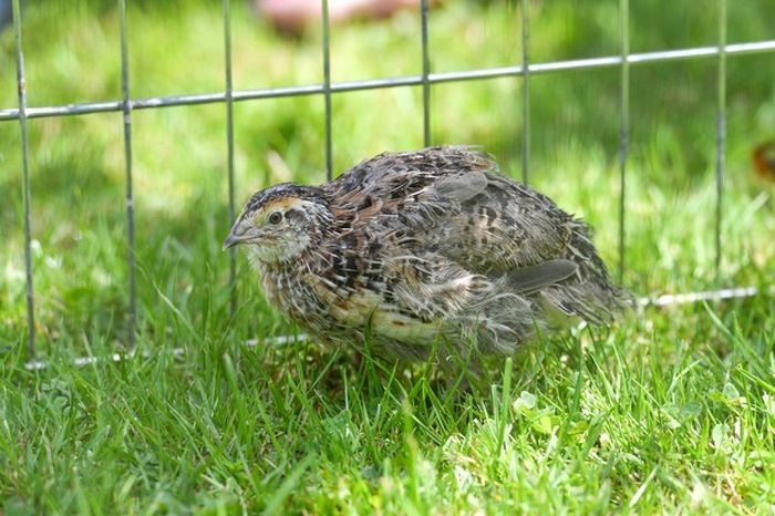 Surprise You've Got A Pet Quail Now (6 pics)