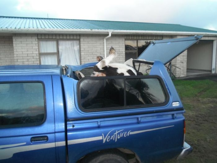 This Is How You Pack A Cow In Your Truck (4 pics)
