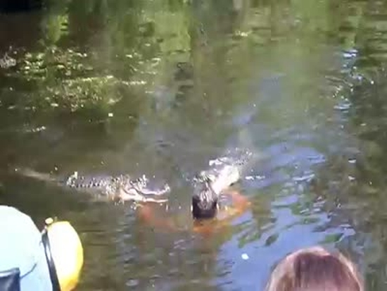 Guide Feeds Alligators Straight From His Hands