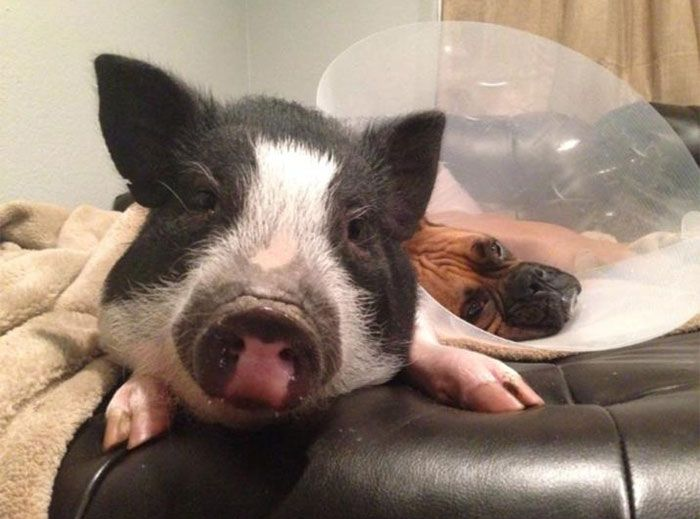 This Pig Is Just One Of The Dogs (6 pics)