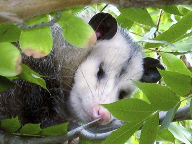 Man Slaps Possum Turns Out To Be Porcupine (5 pics)