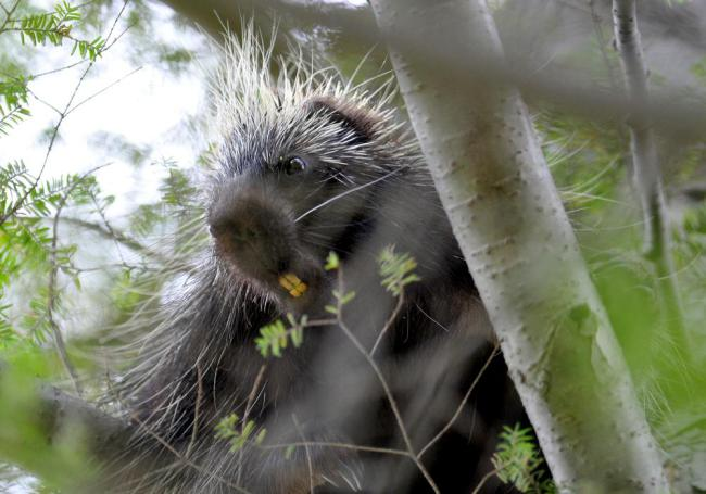 Man Slaps Possum Turns Out To Be Porcupine (5 pics)