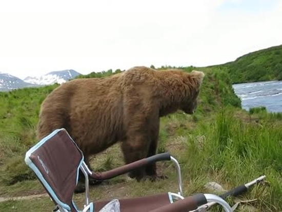 Bear Forgets The Reason Why He Came