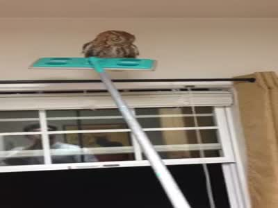 How To Remove An Owl With A Broom