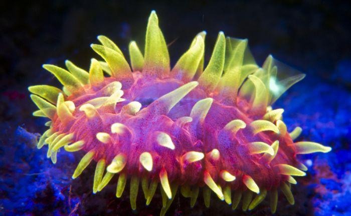 Coral Reefs Look Stunning Under UV Light (23 pics)